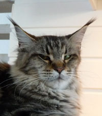 N 22 Maine Coon Black classic tabby Maine coon